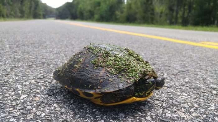 Spotted and saved. I ALWAYS stop for turtles.